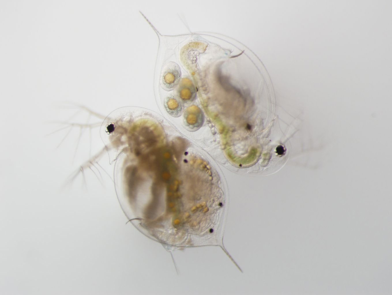 Daphnia-infected-uninfected-Metschnikowia
