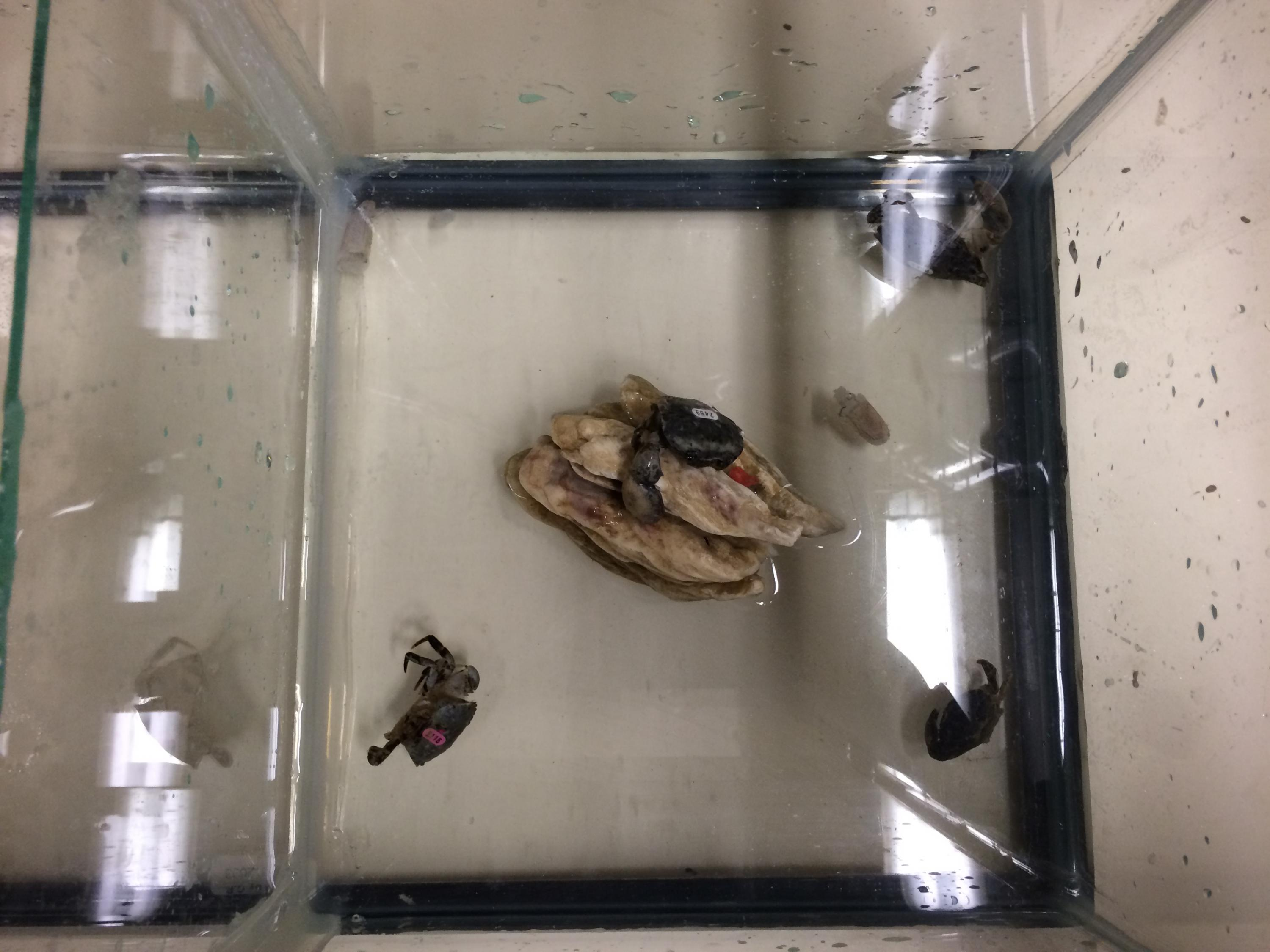 Little mud crabs in tank