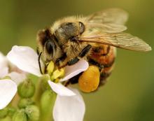 Honey Bee Pollen Pellet
