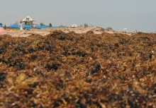 Beached Sargassum