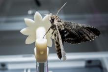 Hawk moth on robotic flower2