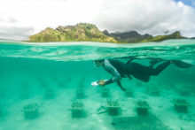 """Cody Clements surveys rows of coral """"gardens."""" (Photo Quentin Schull)"""