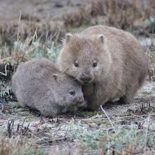 Wombats (Courtesy of Scott Carver)