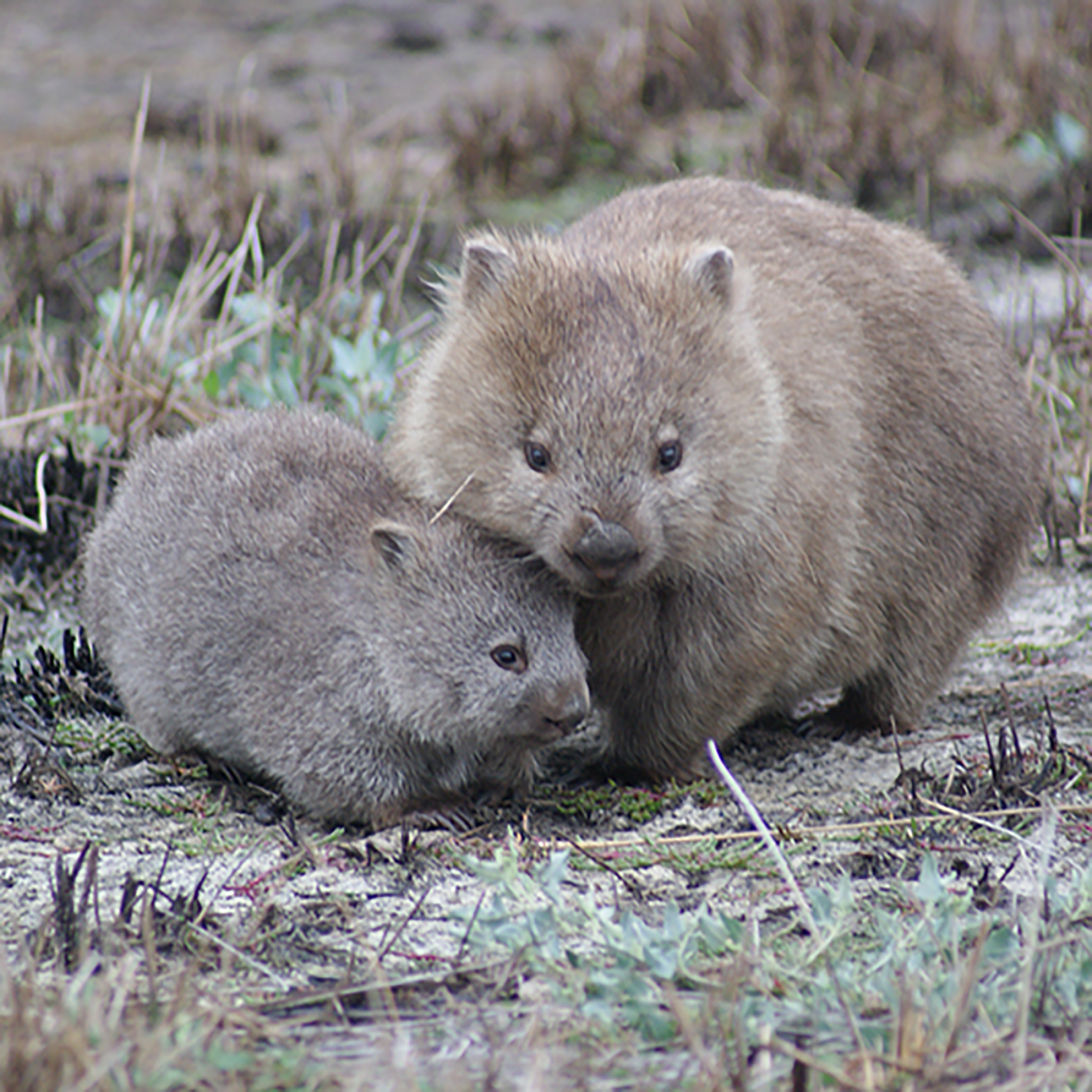 Wombats (Courtesy of Scott Carver)
